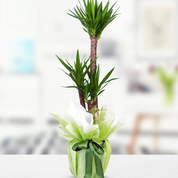 Kırıkkale 3lü Yucca Çiçeği