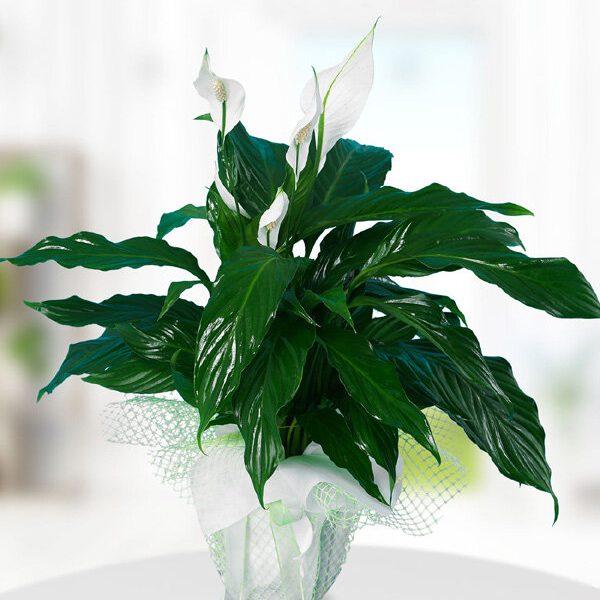 Kırıkkale Spathiphylium Barış Çiçeği