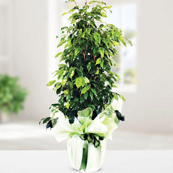 Kırıkkale Ficus Benjamin Bitkisi
