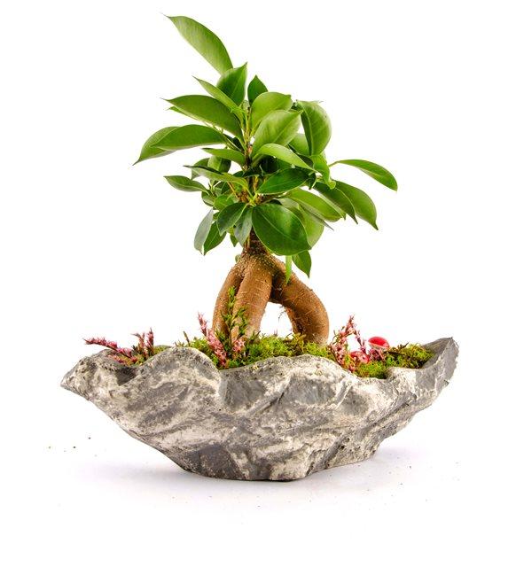 Kırıkkale Marineris Serisi Ficus Bonsai