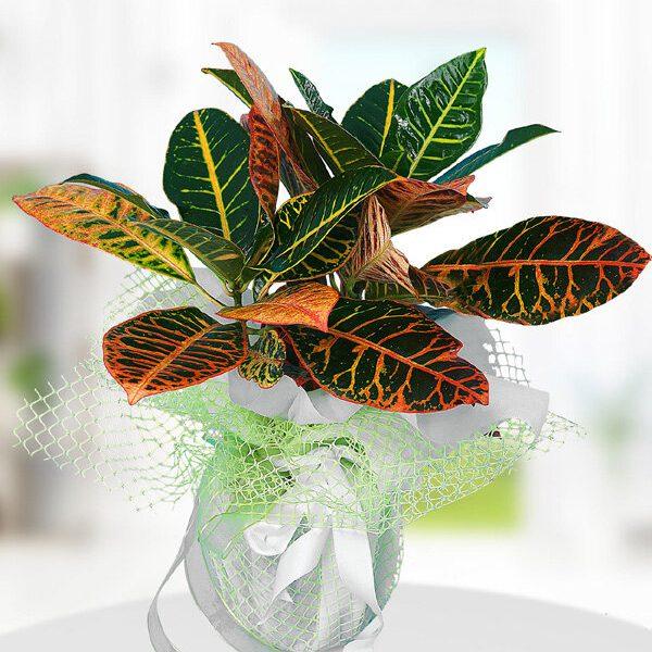 Kırıkkale Kraton Çiçeği