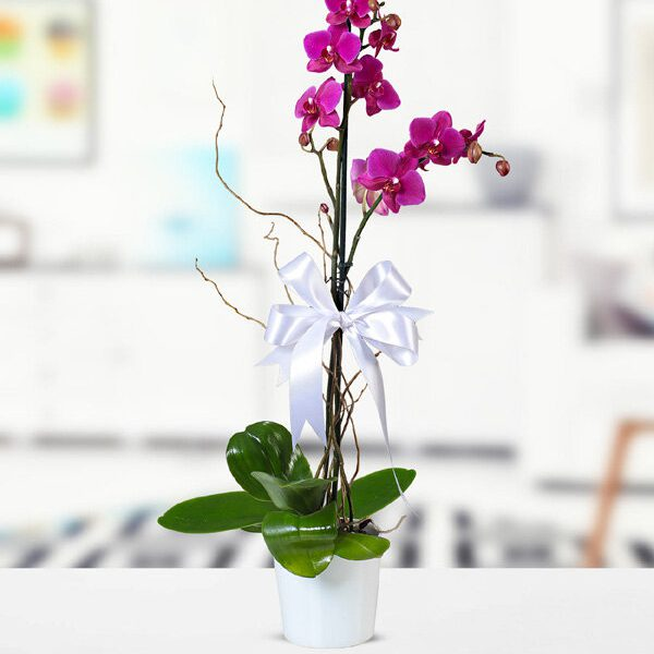 Kırıkkale Mor Phalaenopsiz Orkide