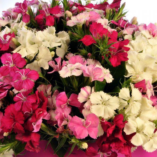 Kırıkkale Rengarenk Hüsnüyusuf Çiçekleri