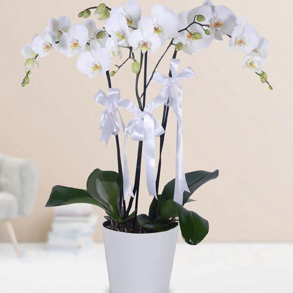Kırıkkale Saksıda 3 Beyaz Orkide